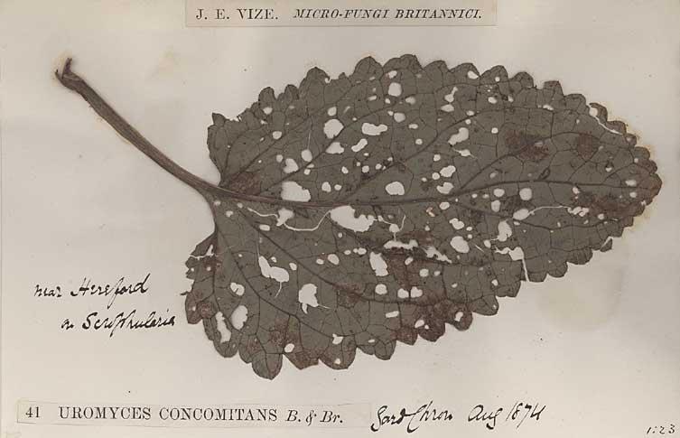 Vascular Plant